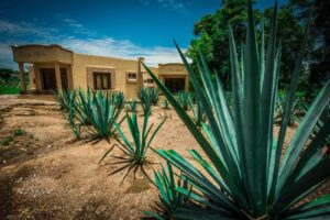 agave-tequila-mexico